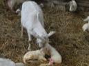Moeder verzorg net geboren lammetjes