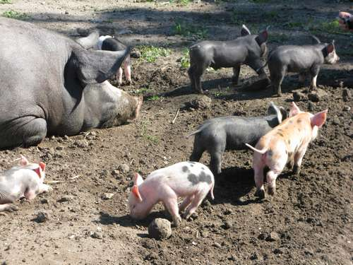 mama varken met haar babys 01 (7-2010) bij kinderboerderij merenwijk