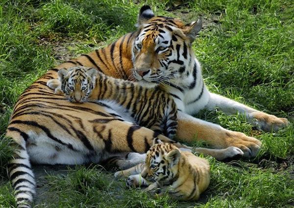 tijger knuffelt met jonkies bij dierenpark amersfoort in amersfoort. Black Bedroom Furniture Sets. Home Design Ideas